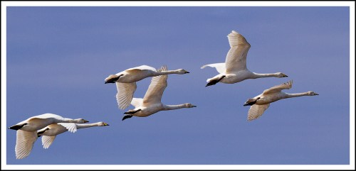 Whooper Swans Flight
