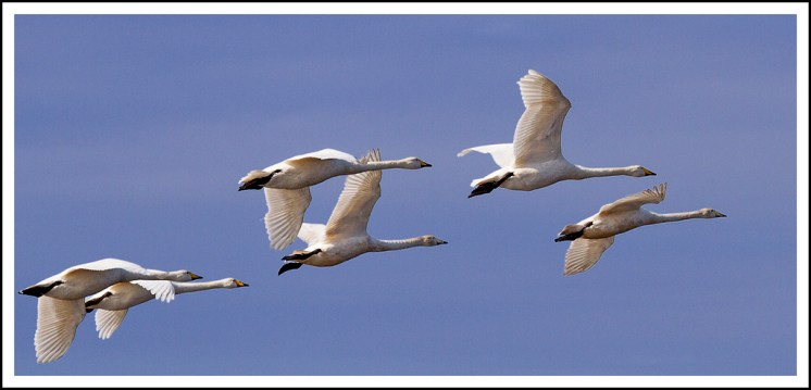 Whooper Swans Flight