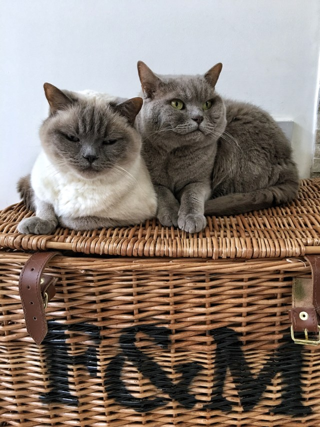 british shorthair cats