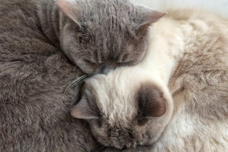 Yin and Yang british shorthair cats