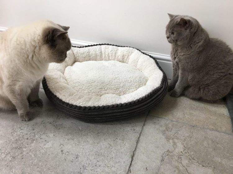 cats british shorthair bed