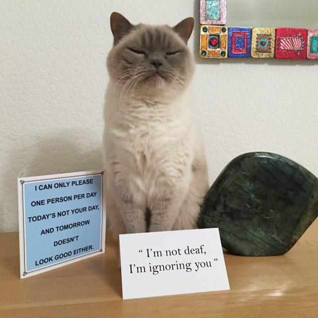 Cat Bluejohn British Shorthair Feline cards humour