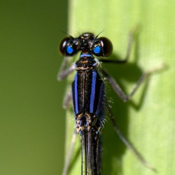 Blue-Tailed Damselfly Monday macro Brockholes