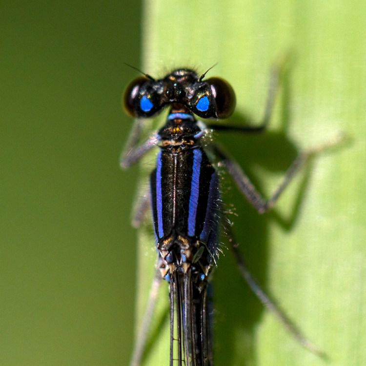 Blue-Tailed Damselfly Monday macro Brockholes