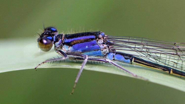 Blue-Tailed Damselfly Brockholes macro