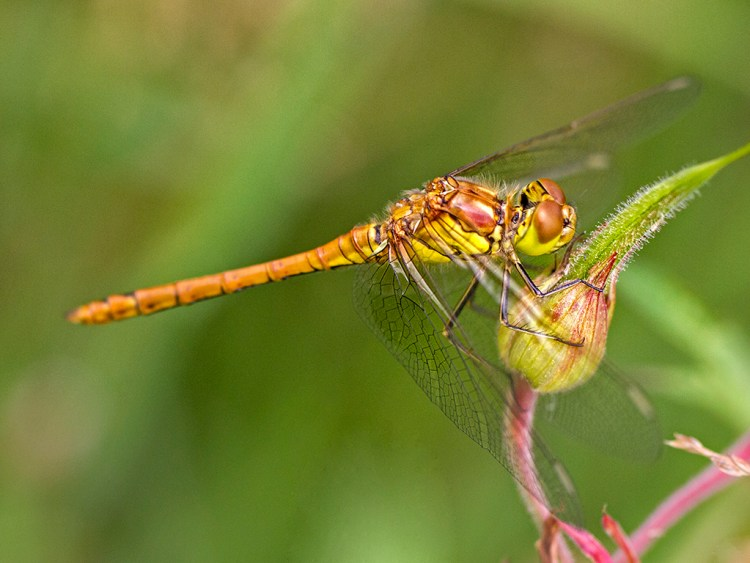 Brockholes Nature Reserve, Preston, macro, common darter dragonfly
