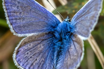 On Gossamer Wings Common Blue Butterfly wing detail Monday macro