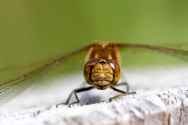 Common Darter Dragonfly Monday Macro