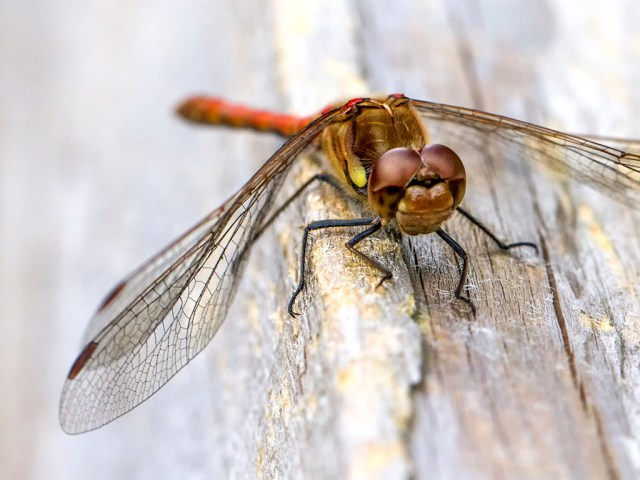 Common Darter Dragonfly insect Monday Macro