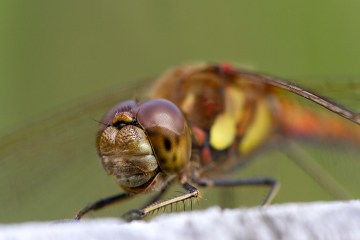 Dragonflies Common Darter Smile macro dragonfly