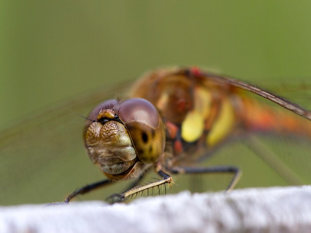 Common Darter Smile macro dragonfly