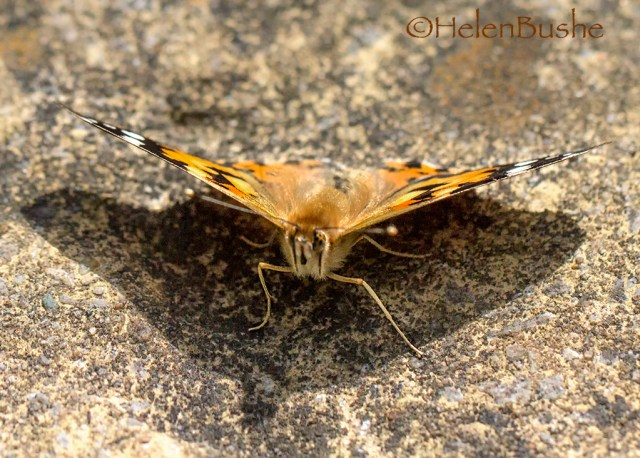 Painted Lady Butterfly Monday macro
