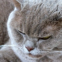 Misty Monday Macro Cat feline British Shorthair