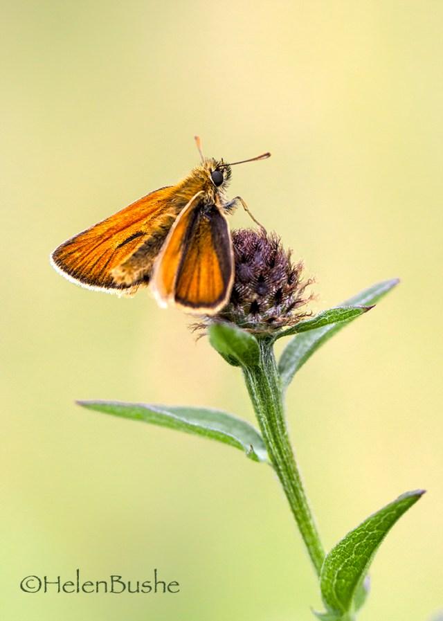 Small Skipper Butterfly © HelenBushe macro monday Myers Allotment