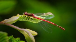 Large Red Damselfly, macro at Brocklholes