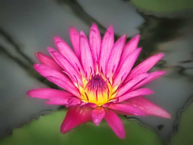 water lily Kew gardens