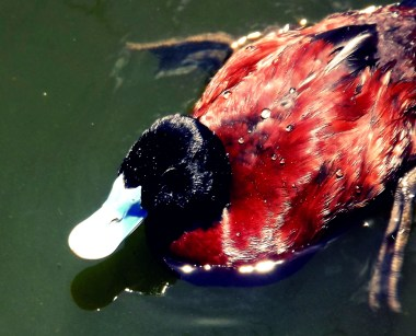This here ducky was swimming around in a Melbourne pond the last time I went on holiday there. I thought he looked so majestic with those water-drop diamonds on his feathers. My internet-consciousness says maybe I should have edited a crown onto his little head ...good taste dictates that is wrong. I restrained myself...this time.
