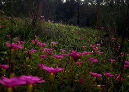 Another picture of pink flowers? HOW ORIGINAL I AM. This shot is another from Mundaring Weir (Western Australia) and although it's a bit fuzzy, my love for these colours outweighs my worry about pixelation.