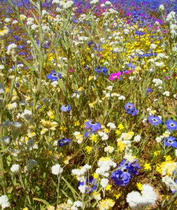 WILDFLOWER WEDNESDAYS: Another snap from the Kings Park wildflower festival - a little more eclectic choice of flowers this time! I adore the blue ones - so vibrant! I wore a ball dress that was the same colour a few years back and it made me feel a bit like a pretty flower :)