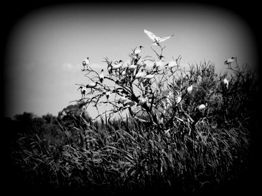 "I used the filter ""Holga"" for this one before fiddling with the lighting a little - I like the graphic quality of the monochrome. I also lie the Ibis with its wings open at the top!"