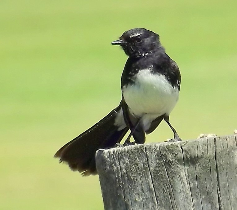 I went on a quick day-trip to Lake Herdsman (Western Australia) with my Dad and youngest brother and the weather was perfect - cool, a slight breeze, but sunny as the middle of summer. This willy wagtail, as we call them here, sat quite calmly on a wooden fence, watching us very carefully while we took umpteen photos of his cute little self!
