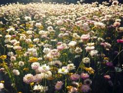 kings park flowers 2015
