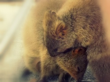 Quokkas on Rottnest Island are cute at the best of times, but when they're hugging? SO. MUCH. CUTER. I snapped the moment just in time.