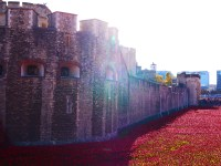 Tower poppies 21