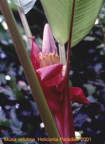 Image of Musa velutina  Heliconia Paradise