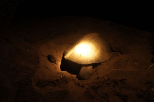 After the turtle has dropped all her eggs, she buries them in the sand and leaves