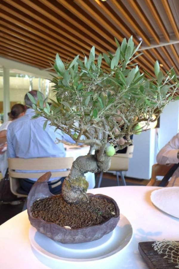 Oliventre med små oliven hengende på grenene: Green olive's ice cream