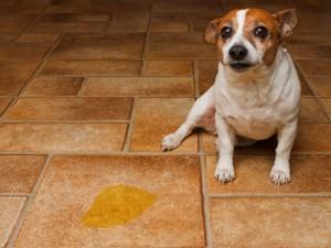 dog sitting next to pee spot