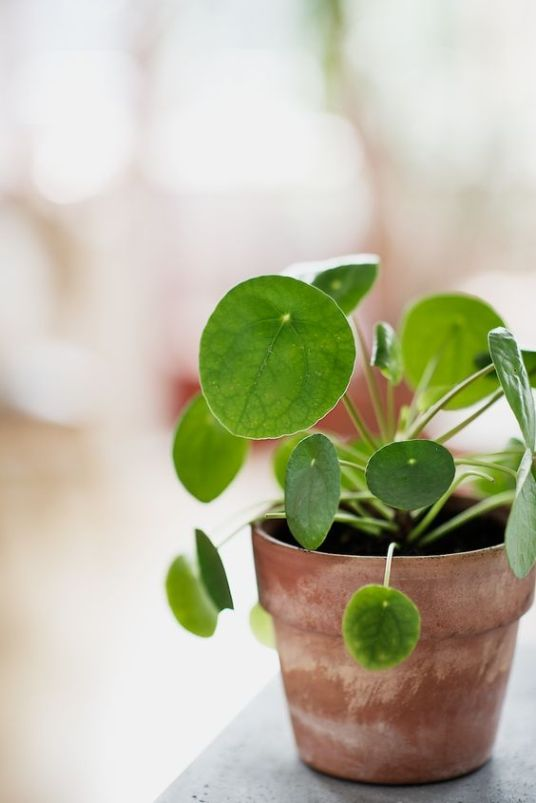 It-Plants Plantes Vertes Originales Pilea Peperomioides // Hëllø Blogzine blog deco & lifestyle www.hello-hello.fr #pileapeperomioides