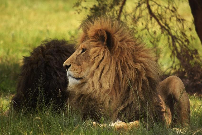 Lionsrock