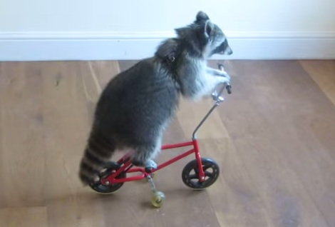Melanie the raccoon can ride bikes and scooters and