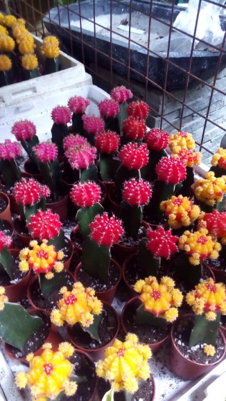 Pink and Yellow Moon Cactus