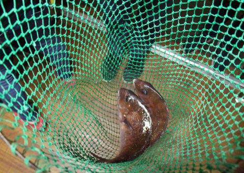 Japanisches Essen: Zwei Fische im Netz