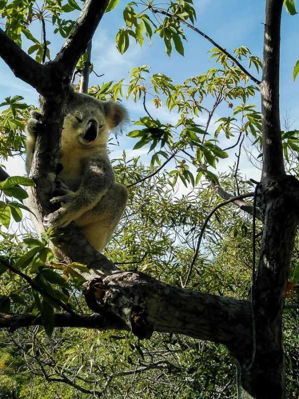 Magnetic Island : l'île aux koalas sauvages #5