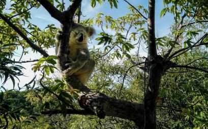 koala sauvage à Magnetic Island
