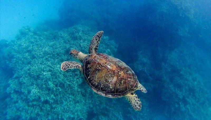 nager avec des tortues à lady musgrave