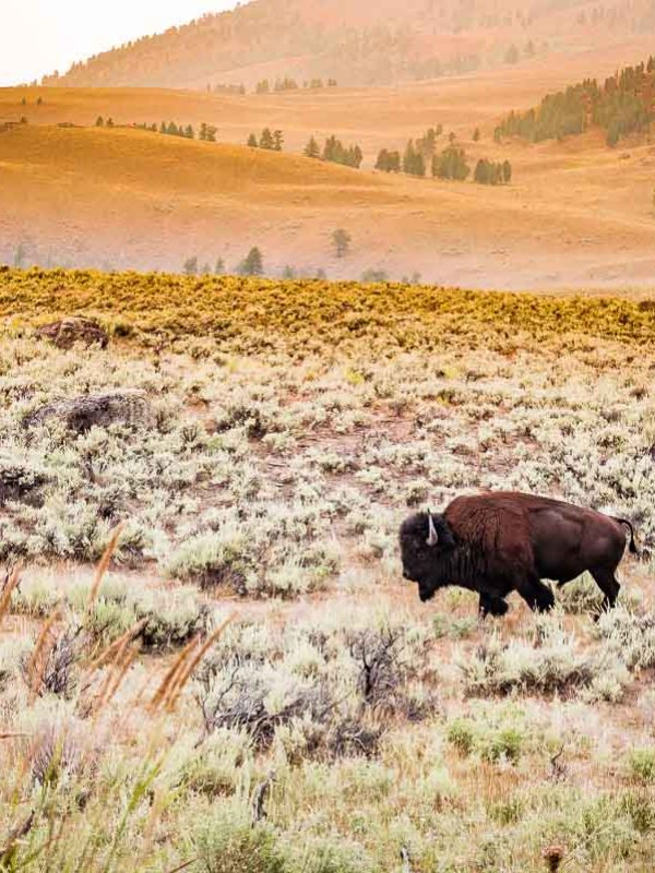 Yellowstone : Lamar Valley, THE place-to-be des bisons
