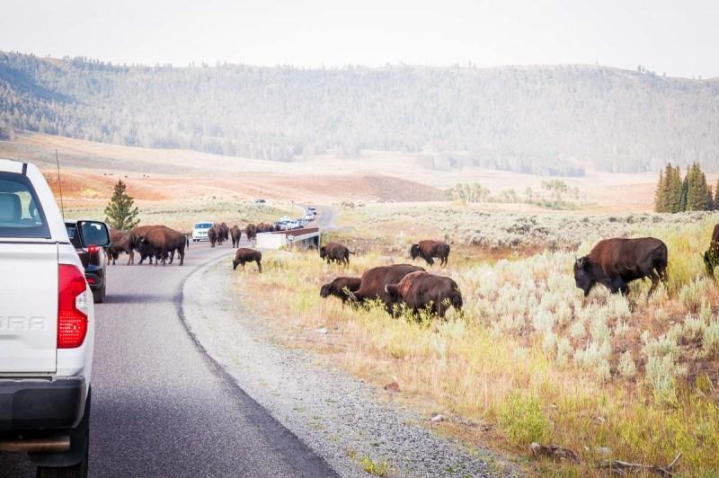 bouchon de bisons sur une route de la Lamar Valley
