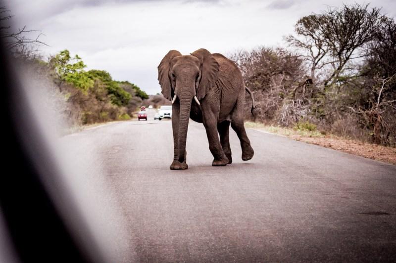 Eléphant traversant la route au parc Kruger