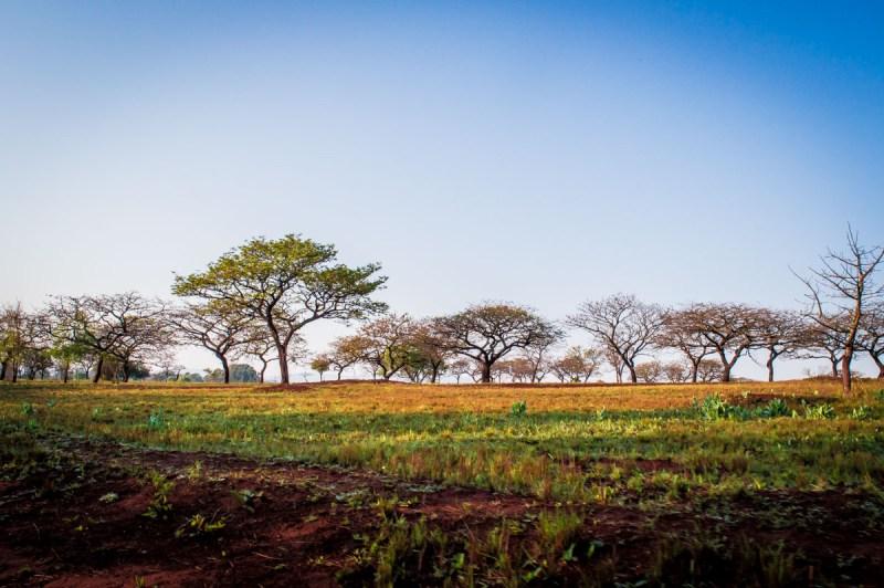 arbres parasol en Afrique du sud