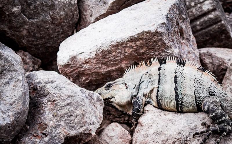 iguane dans les rochers
