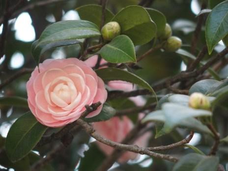 Garden of Dreams Roses