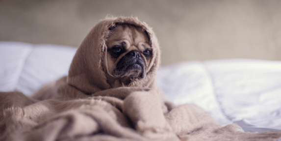 anxious pug swaddled in blankets