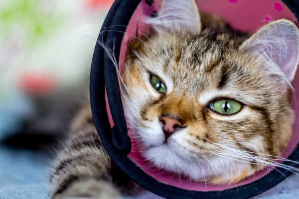 cat in cone collar after surgery on a blue blanket