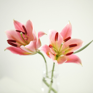 two pink lilies