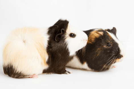 two guinea pigs resting next to one another